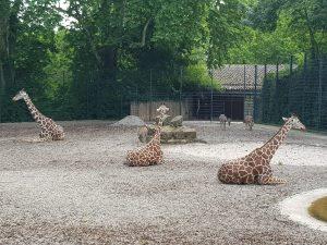 Giraffen in der Wilhelma